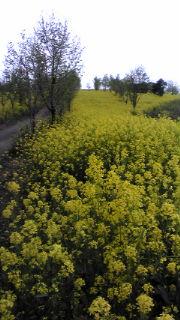 茶屋の元 菜の花畑