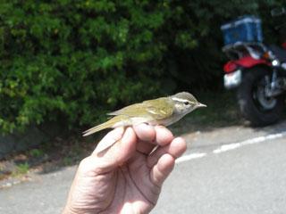 エゾムシクイという野鳥