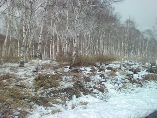 雪と白樺の風景