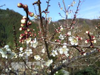 鍋谷和歌山側麓の梅