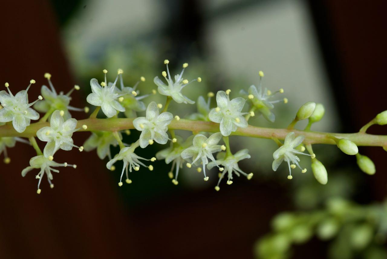 ウンナンヒャクヤクの花