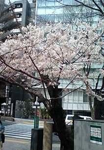 道玄坂上の今日の桜