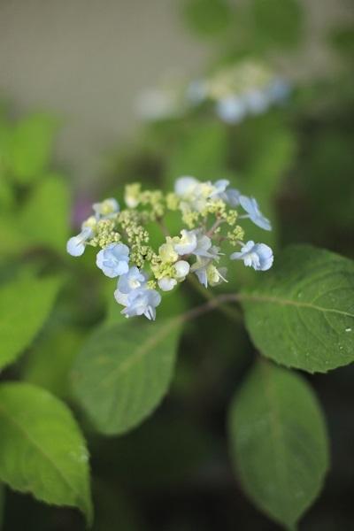 ヤマアジサイ 八重咲き甘茶