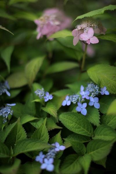 ヤマアジサイ 薩摩紫紺
