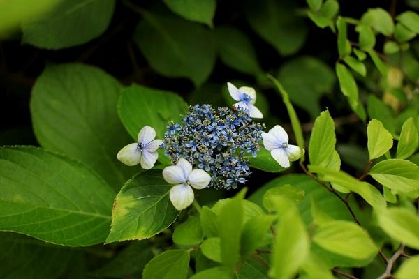 アジサイ 大島緑花