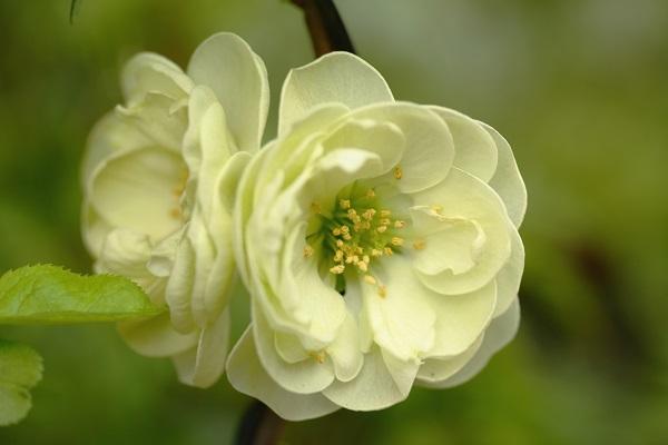 木瓜 金鵄殿