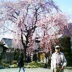 長野県飯田市の桜の木