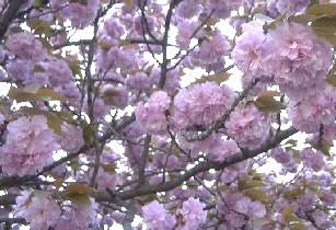 葛(ふじ)井寺の八重桜