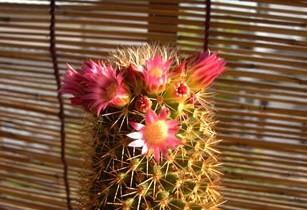 仙人掌(サボテン)の花