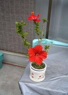 仏桑花(ぶっそうげ)又はハイビスカス