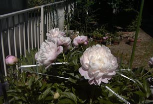 芍薬(しゃくやく)の花