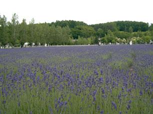 紫一色のラベンダー畑