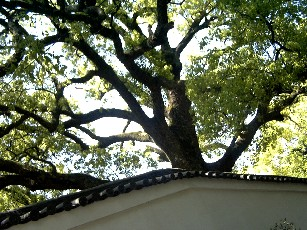 門前の大楠木