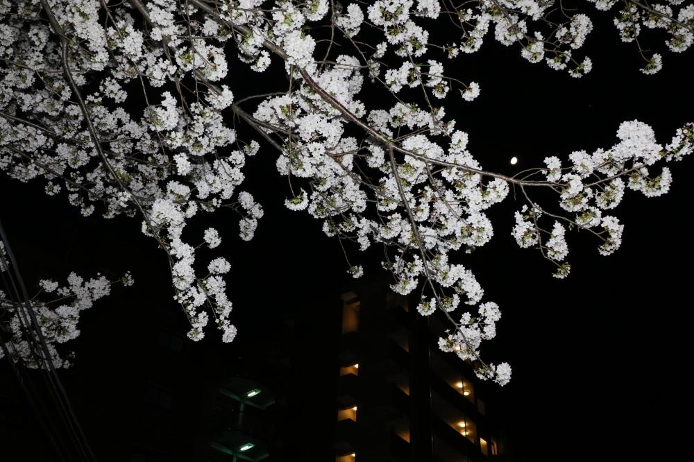 196A2494.JPG 夜桜に月.JPG