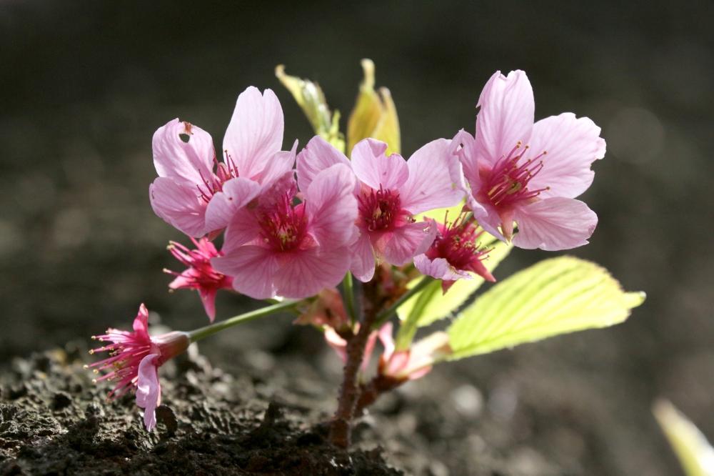 IMG_4883.JPG 幹から赤い桜.JPG