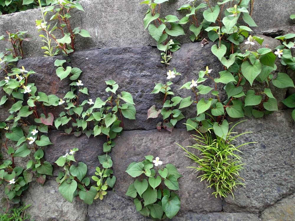 P5160039石垣のドクダミ.JPG