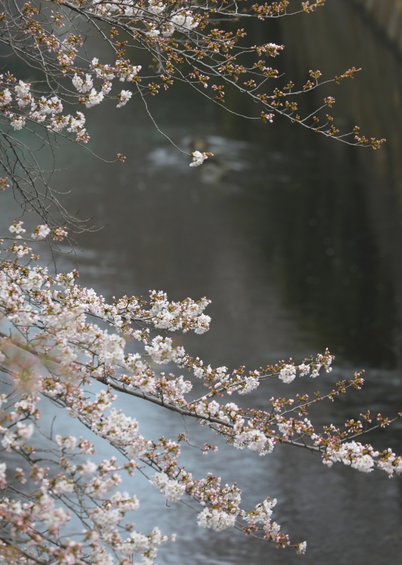 0Y6A1831神田川.JPG