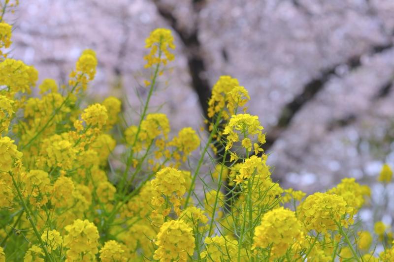 0Y6A4522菜の花.JPG