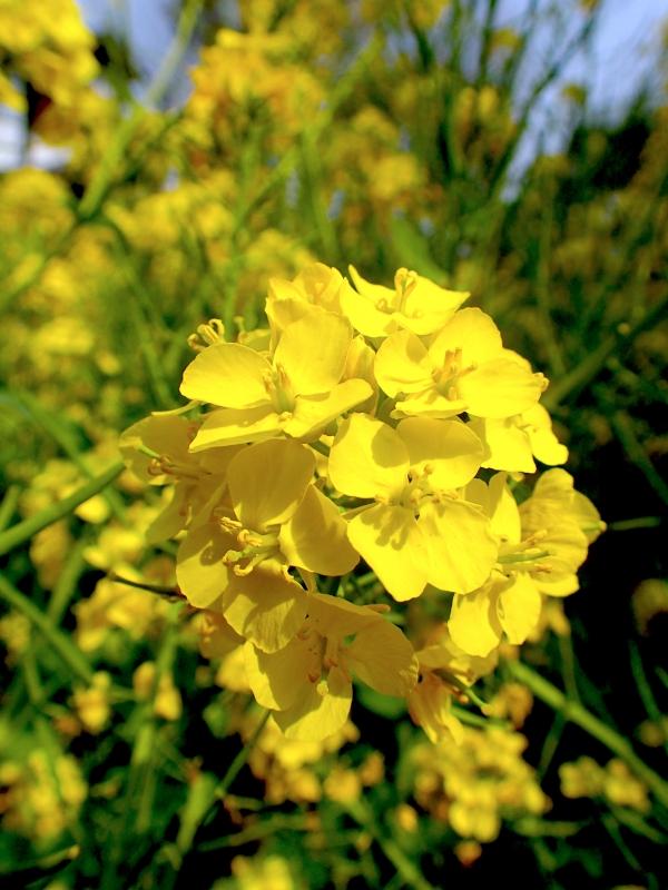 P4072118菜の花.JPG