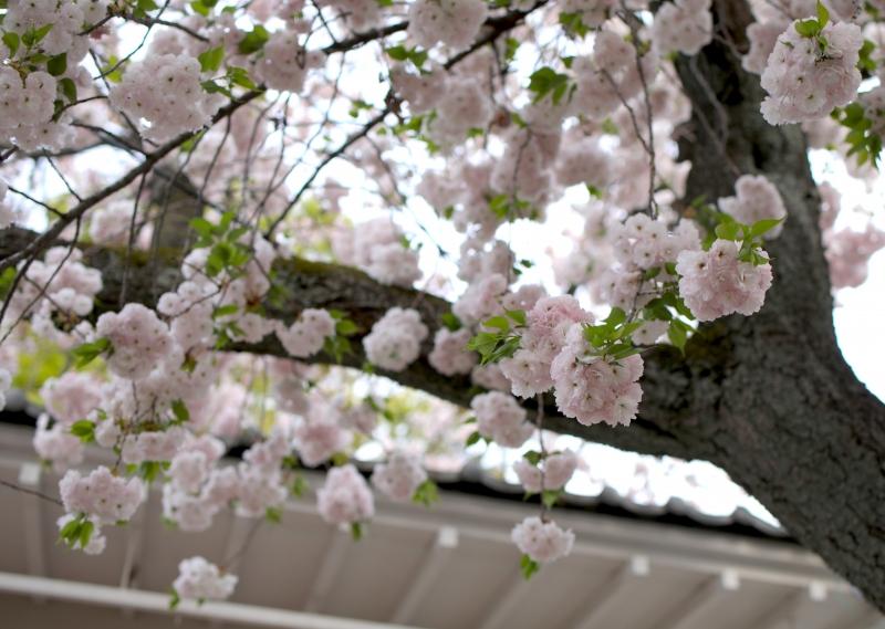 0Y6A5135八重桜.JPG