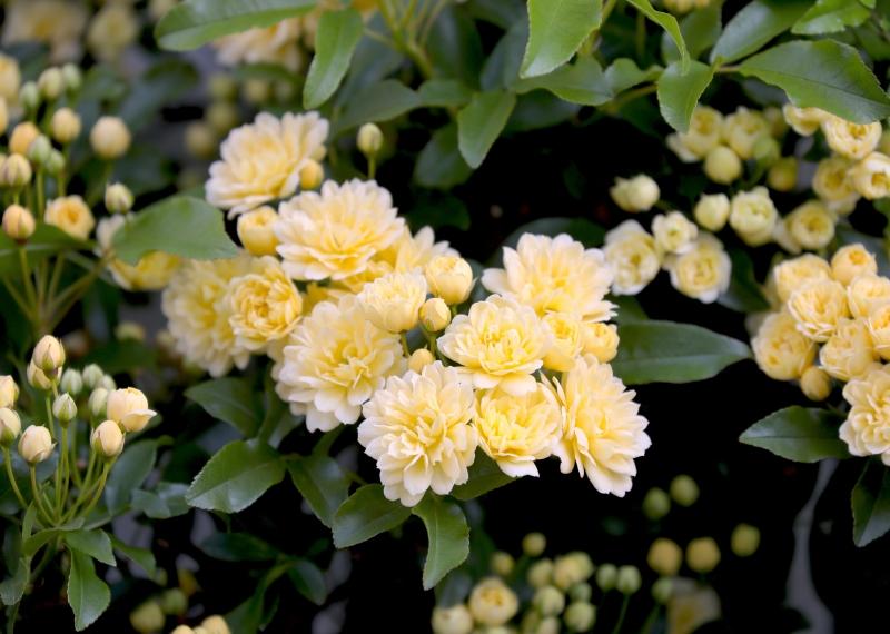 0Y6A5517バラ黄色.JPG