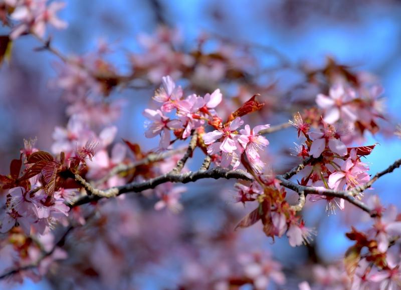 0Y6A7349桜.JPG