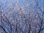 墓地 山桜
