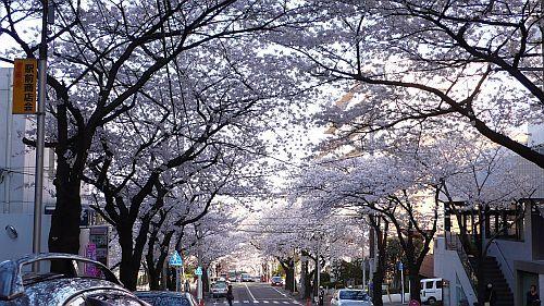 駅前桜並木