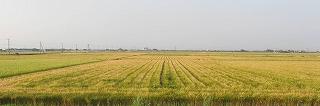 干拓地麦畑
