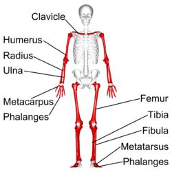 long_bones