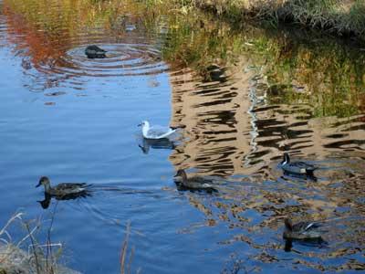 芥川の百合鴎