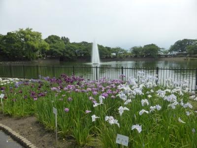 池田市 水月公園 花菖蒲