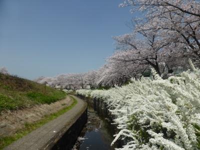高槻 新川桜堤