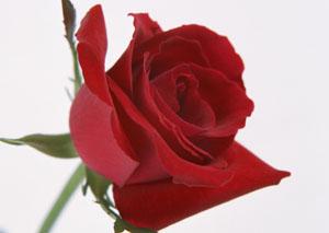 バラs.jpg