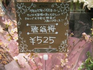 啓翁桜r.jpg