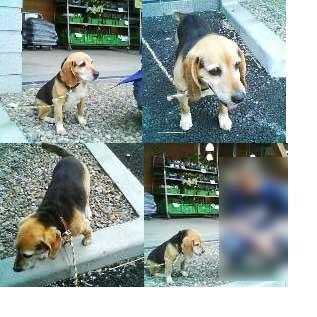 迷子のビーグル犬