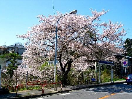 じゅんさい池バス停の桜