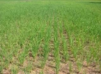 2008年9月トボン・アン村SRI栽培全景