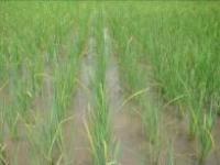 2008年10月サムダック・オプ村SRI栽培全景