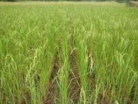 2008年11月サムダック・オプ村SRI栽培全景
