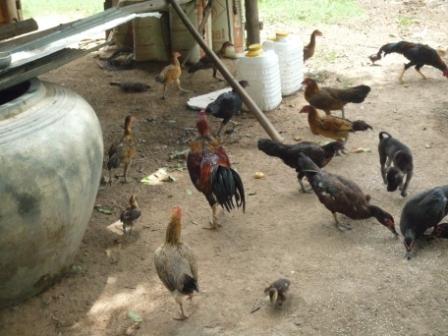 元気に育て、鶏よ