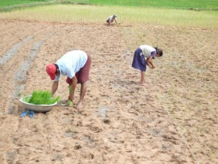 2009年8月21日トボンアン村でのSRI農法田植えの様子