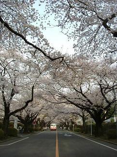 滑走路の桜並木2008