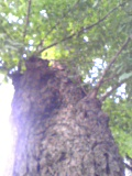 等々力不動大木