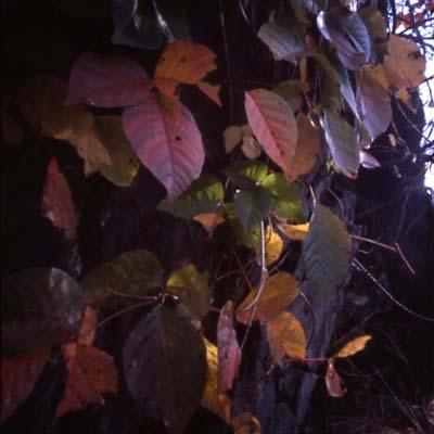 夕方の紅葉