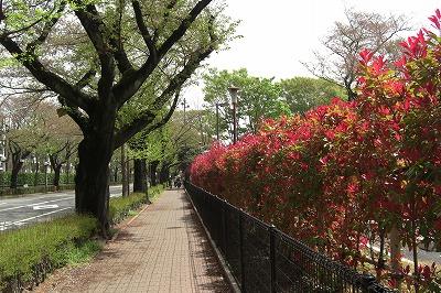 春の息吹の桜並木