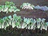小松菜いっぱい