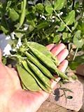エンドウ収穫
