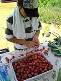 トマトを数える