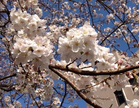 会社の桜も間もなく満開